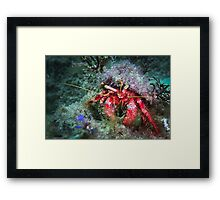 Hairy Red Hermit Crab Framed Print