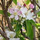 Apple Blossoms by Deb Coats