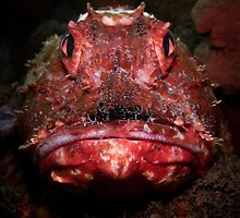 Portrait of a Red Rock Cod by WillOwyong
