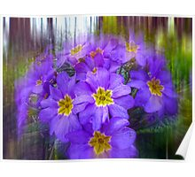 Striking Primulas Poster