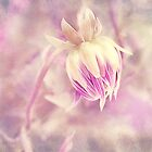 Purple Dahlia by afeimages