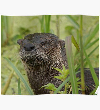 Otter on West Lake Toho Poster