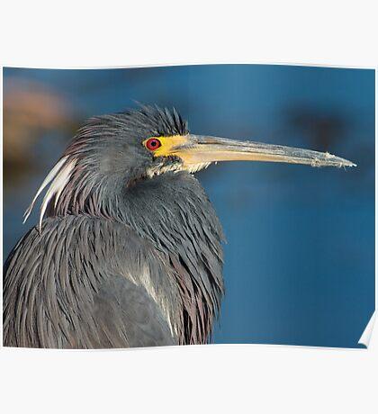 Tri-colored heron, West Lake Toho Poster