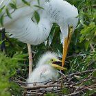 Great Egret chick by Matthew Elliott