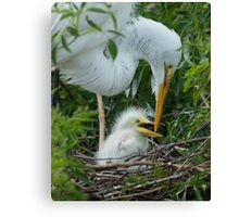 Great Egret chick Canvas Print