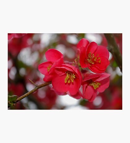 flowering quince cluster Photographic Print