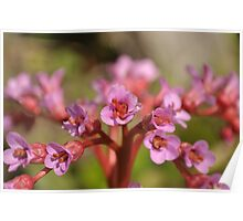 Bergenia pods 2 Poster
