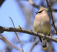 Cedar Waxwing by withacanon