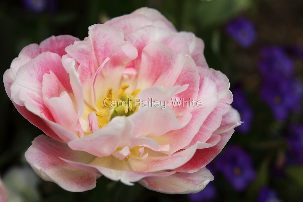 Pink Confection by Carol Bailey-White