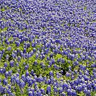 Bluebonnets in Texas by Kate Farkas