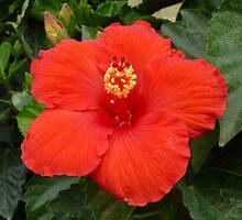 Red Hibiscus by WildestArt