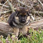 Only German Shepherd Puppies by Sandy Keeton