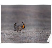 Prairie Chicken 2013-7 Poster
