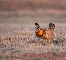 Prairie Chicken-8 by Thomas Young
