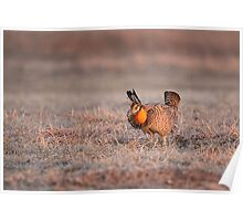 Prairie Chicken-8 Poster