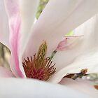 Saucer Tulip Magnolia ~ Magnolia X Soulangeana by studio20seven