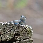 Blue Belly Alligator Lizard by Susan S. Kline