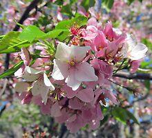 Cherry Blossoms by Kenny M. Davis