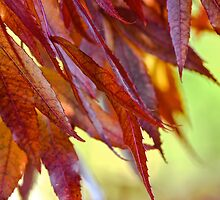 Scarlet leaves by Alison Hill