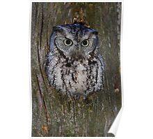 Eastern Screech Owl eye opener Poster