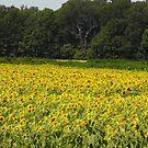 Sunflowers by WildestArt