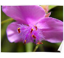 Pretty Spiderwort Poster