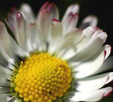Simply Daisy by Zen-Art (Zenith)