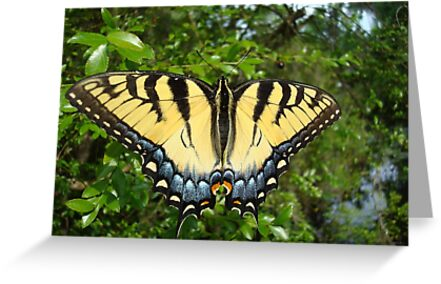 TIGER SWALLOWTAIL  by May Lattanzio