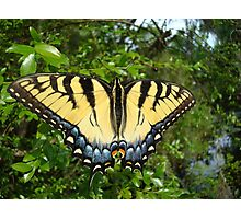 TIGER SWALLOWTAIL  Photographic Print