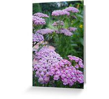 Pink Grapefruit Yarrow ~ Achillea Millefolium Greeting Card