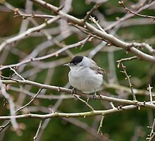 Blackcap in Hawthorn by Sue Robinson