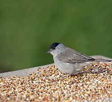 Blackcap on Seed Table by Sue Robinson