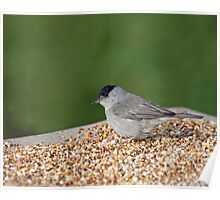 Blackcap on Seed Table Poster