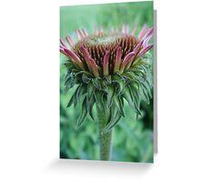 Purple Cone Flower ~ Echinacea Purpurea Greeting Card