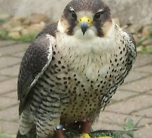 The Peregrine Falcon by Bill Lighterness