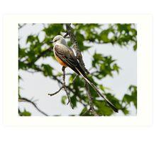 Scissor-tailed Flycatcher Art Print