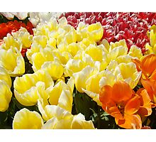 Tulip Flowers Festival Art Prints Yellow White Tulips Photographic Print
