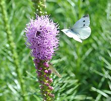 Blazing Star ~  Liatris and a Butterfly by studio20seven
