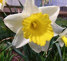 Daffodils by James Brotherton