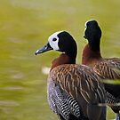 White Faced Whistling Duck by Winston D. Munnings