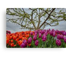 2013 Skagit Valley Tulip Festival Canvas Print