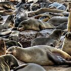 Cape Fur Seals by Matt Eagles