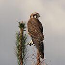 Brown Falcon, Female, Canberra Australia  by Kym Bradley