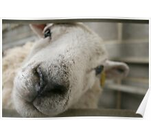 Sheepish - Nosey Sheep Poster