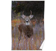 Prince - White-tailed Deer Poster