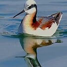 Young Avocet? (Feel free to ID for me ..) by Betsy  Seeton