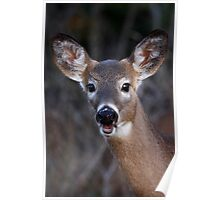 Well hello there! - White-tailed Deer Poster