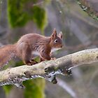Red Squirrel  by Jane Horton