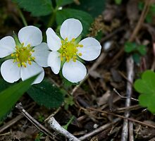 Common Wild Strawberry by Otto Danby II