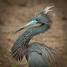 Tricolor Heron Mating Plumage by Joe Jennelle